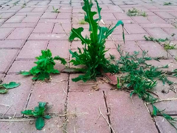 Трава на тротуарной плитке